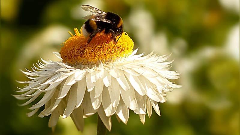 Hummel Blume