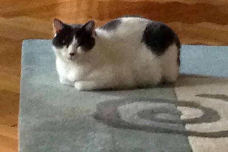 Grau-weißer Kater auf Teppich