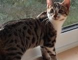 Bengalkatze auf Fensterbank