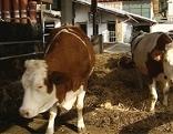 Kühe Milchkühe Kuh Kühe Laufstall Kuhstall Bauernhof Landwirtschaft Viehzucht Milchwirtschaft Milch