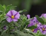 Blütenstämmchen