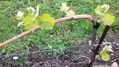 trs vinograd
