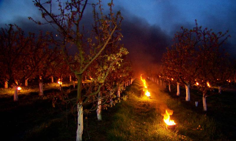 Frost, Bauern wären Obstplantagen in Eferding