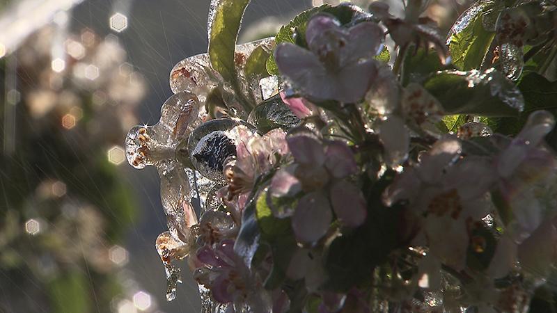 Forstschäden, Frostschutzberegnung, Blütenfrost