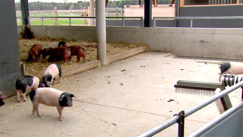 Tierwohl Schweinezucht