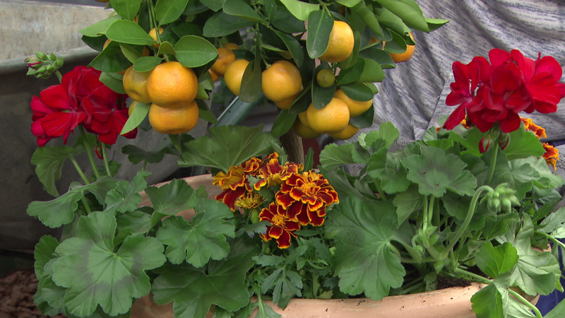 Zitrusfrüchte mit Sommerblumen kombiniert