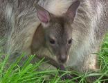 Kängurunachwuchs