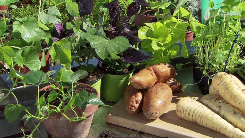 Exotische Gemüsepflanzen wie Pastinaken und Süßkartoffeln