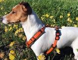 Jack Russel Terrier Runi