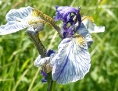 sibirska lilija Nova Gora