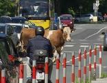 Stier machte Ausflug in der Stadt