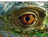 Der Blick des Leguans
