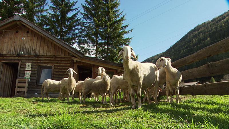 Gefährdete Haustierrasse Kuh Rind Kalb Brillenschafe