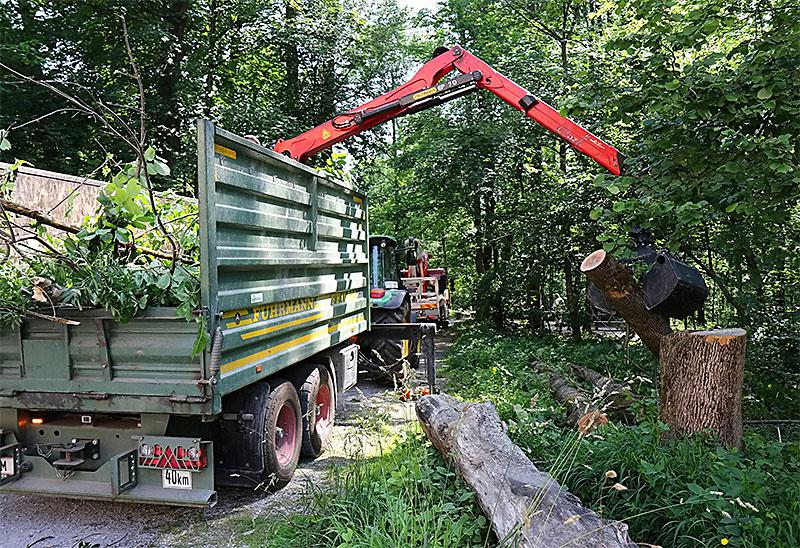 Eschensterben, Holzfällen