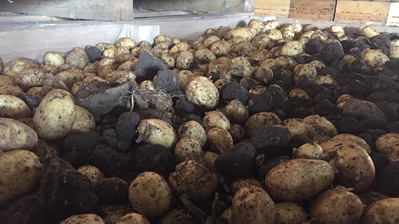 Erdäpfel, Heurige, Grundbirnen, Kartoffeln, Erdäpfelernte