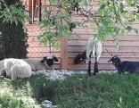 Vier Schafe bei Unterstand