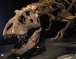 Fossil eines Tyrannosaurus Rex Skeletts in Ausstellung
