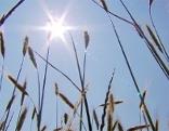 Trockenheit Feld Sonne Weizen Ähre Hitze Ernteschäden