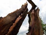 Durch Blitzschlag gespaltener Baum