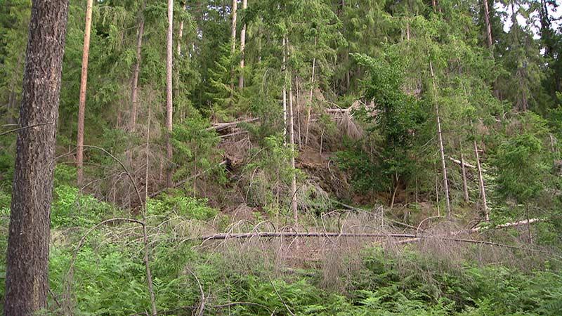 Andere Baumarten nötig Hitze Klimawandel Fichte