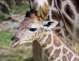 Junger Giraffenbulle, Rothschildgiraffe