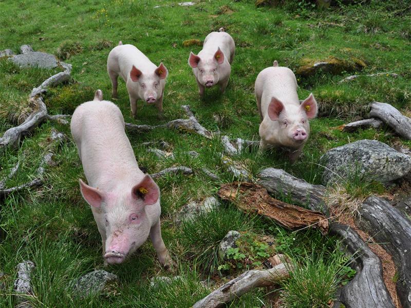 Schweine auf der Alm
