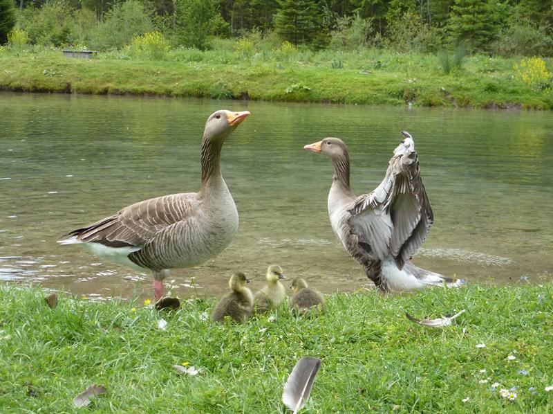 Graugänse Idgie und Ingeborg mit ihren Jungen