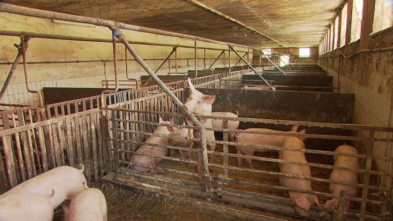 Schweine Stall mit Stroh