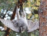 Habicht, der kopfüber am Baum hängt