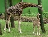 Giraffe Giraffenbulle Nabo Zoo Schmiding