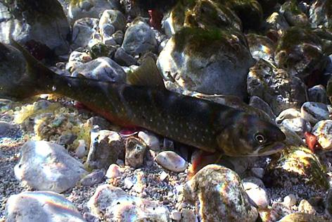 Seesaibling Fisch des Jahres bedroht