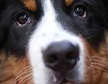 Diebstahl Auto Hund Sittersdorf Sennenhund