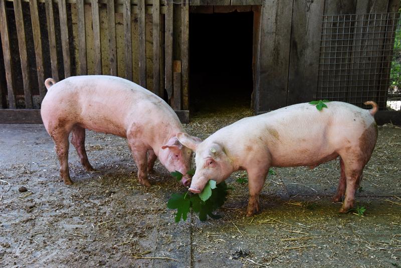 Kaiserklamm Bild 11: Zwei Schweine beim Verzehr von Blättern