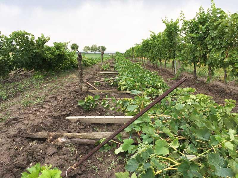 Sturmschäden Unwetter - zerstörte Weingärten in Kleinhöflein