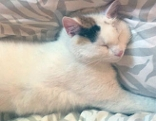 Katze Zoe vermisst Tiersuche