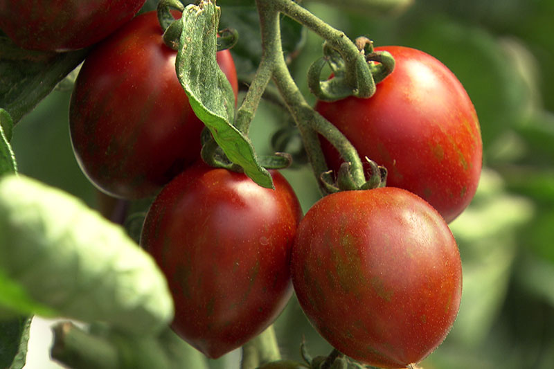 Tomaten (Paradeiser) auf dem Strauch