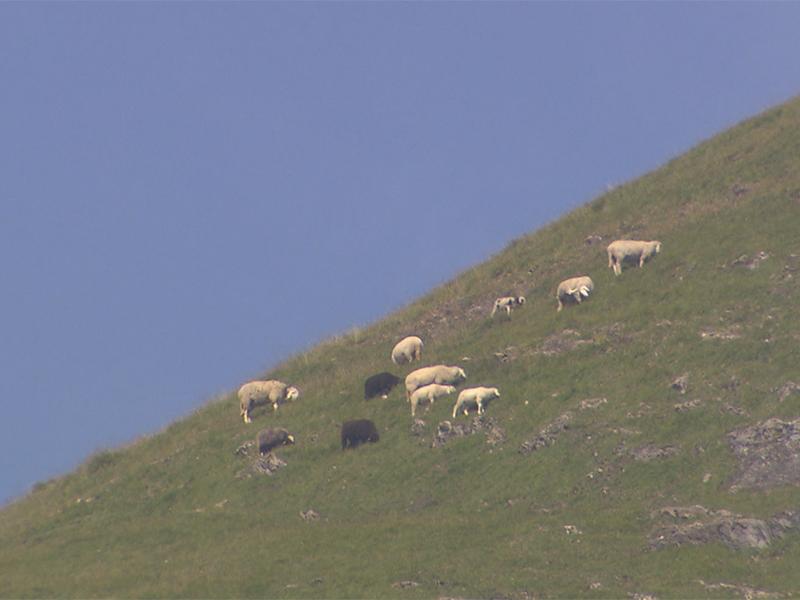 Schafe auf Alm