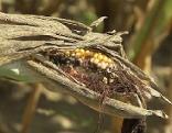 Trockenheit bei Mais und Kürbis