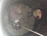 Mutterkuh in Siloschacht