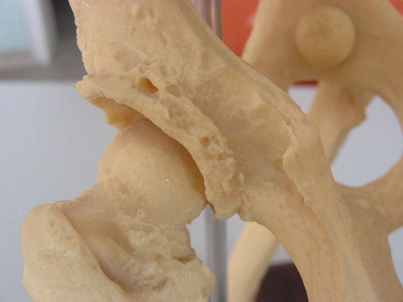 Gelenks-Arthrose beim Hund im Modell