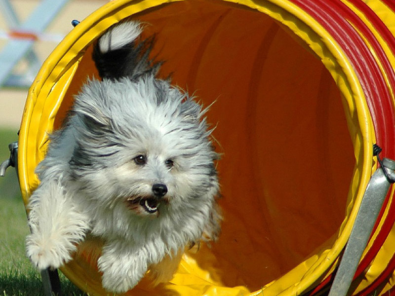 Kleiner Hund rennt bei Agility aus Plastikröhre heraus,