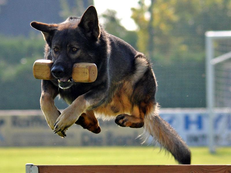 Schäferhund springt mit Holzdummy im Maul über ein Hindernis