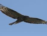 Greifvögel Vogel