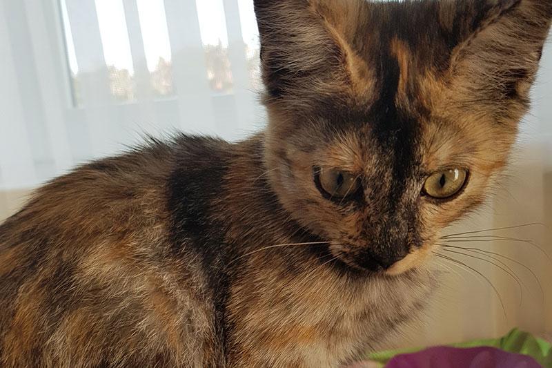 Dreifärbiges Kätzchen