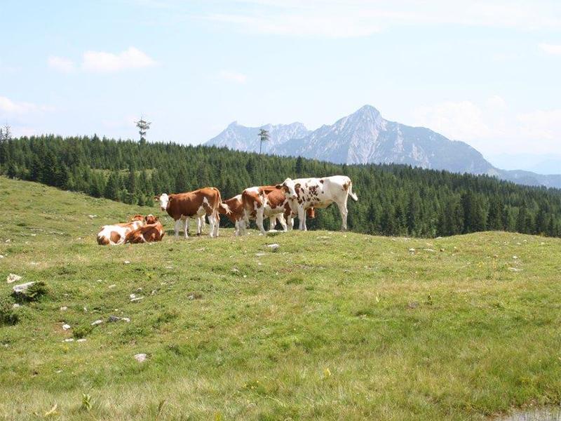 Kühe auf der Postalm