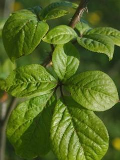 Blätter der Taigawurzel