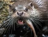 Otter mit Fisch im Maul