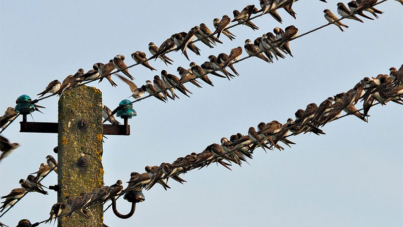 Schwalben Zugvögel Telefonleitung