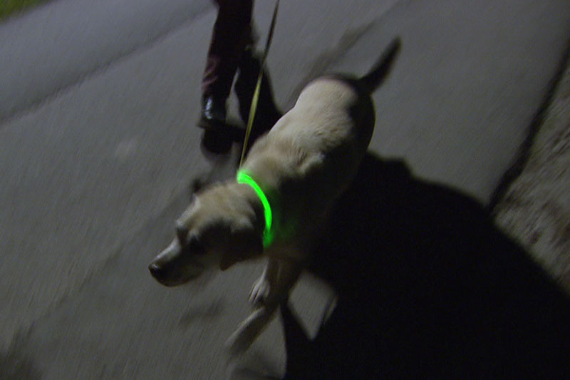 Hund mit Leucht Halsband in der Dunkelheit