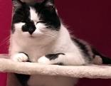 Schwarz weiße Katze Kitty